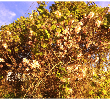 Die erste Mandelbaumblüte 2019