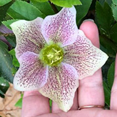 Helleborus - Lenten Rose