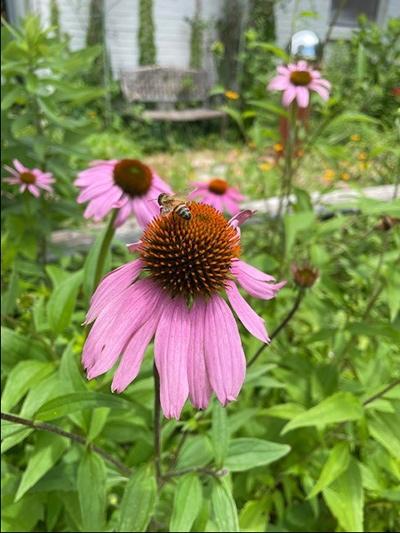 Pollinator Season - Bee on Purple Coneflower
