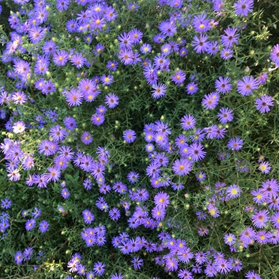 Fall Aster
