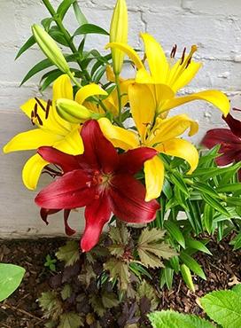 Hybrid Lilies