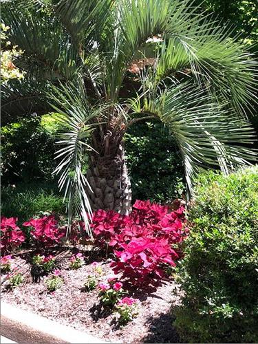 Coleus under palm
