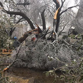 cedar elm after ice storm