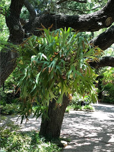 Staghorn Fern in hanging basket