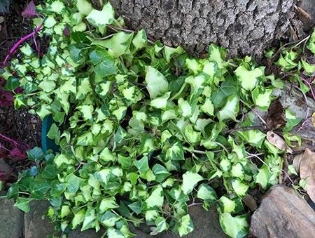 Senecio macroglossus - Wax Ivy