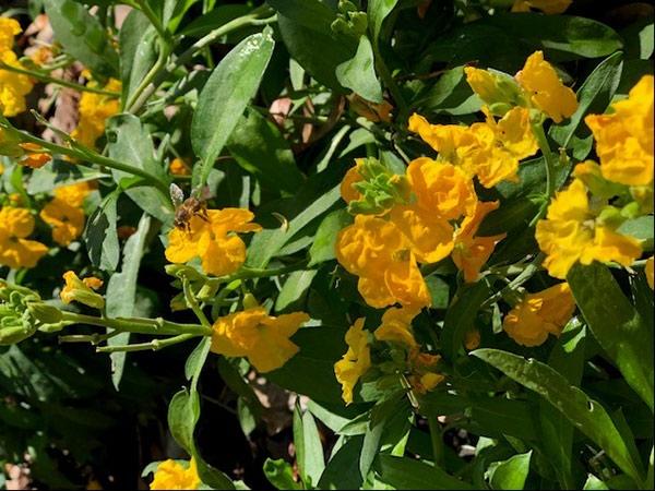Honeybees on yellow flowers