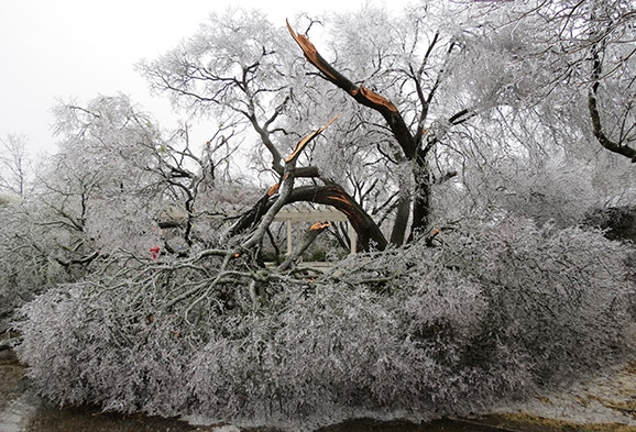 Ice Broken Cedar Elm
