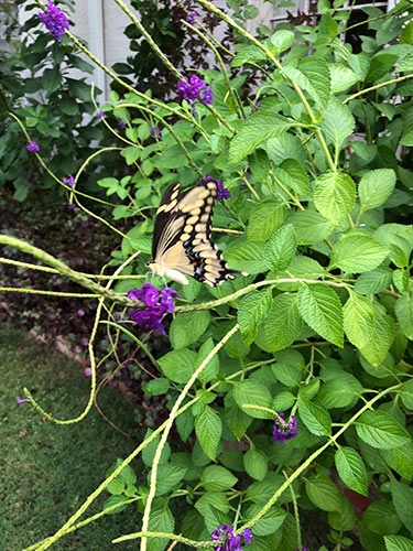 Swallowtail Butterfly on Purple Porterweed Flowers