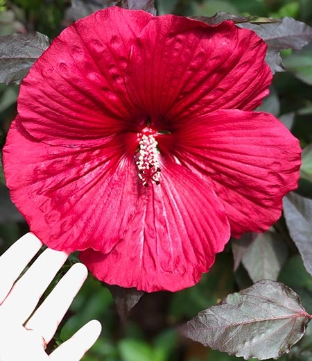 Midnight Marvel Hibiscus
